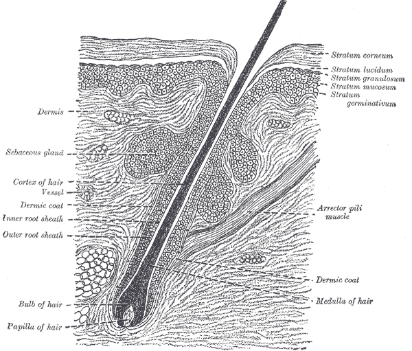 a hair in its follicle